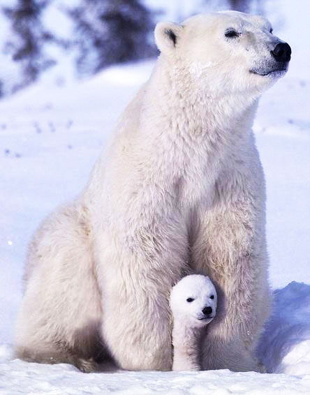 A large polar bear and her cub sitting in the snow.