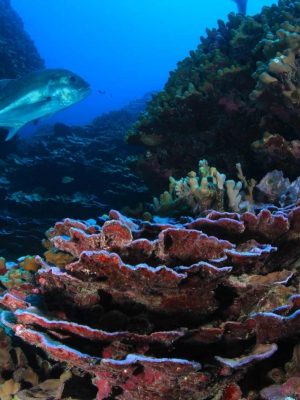 A fish cruises over a colourful coral reef