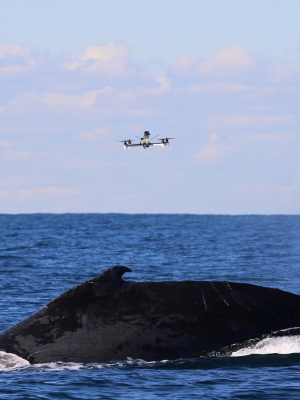 Image of a drone hovering above a breaching humpback whale in the ocean