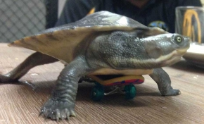 A close up photo of a turtle sitting on a small skateboard.