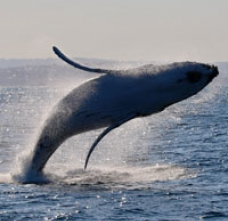 Breaching humpback whale jumping out from the surface of the ocean