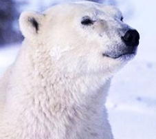 The head of a large polar bear.
